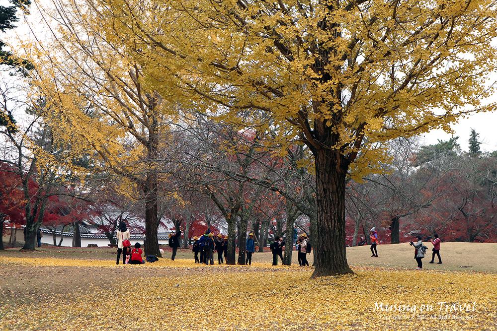 나라코엔의 노란 은행나무