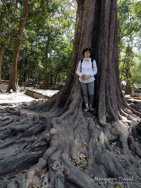 캄보디아 따 프롬 주변의 스펑나무