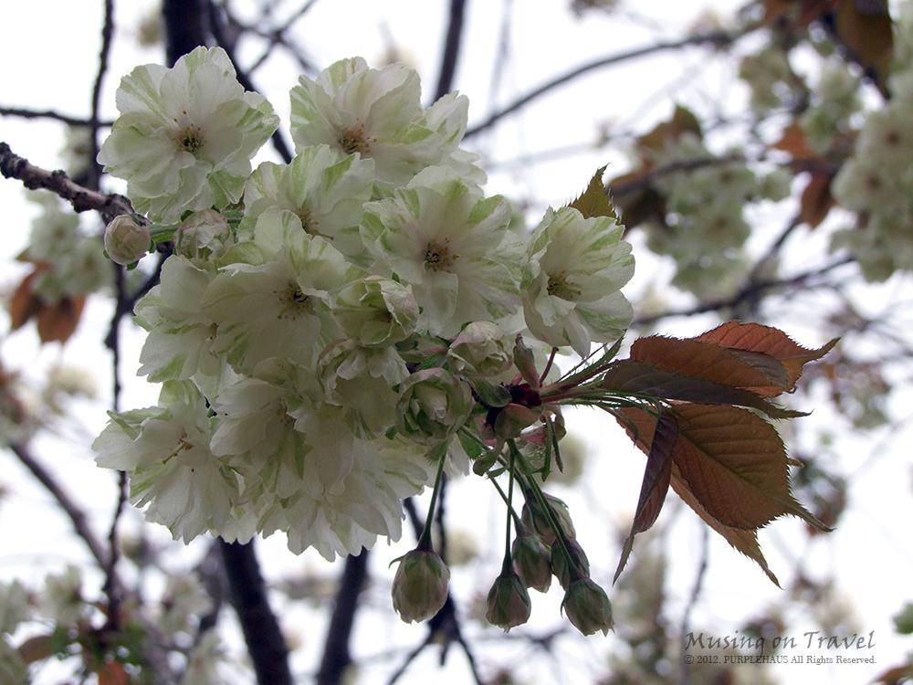 개심사 청벚꽃